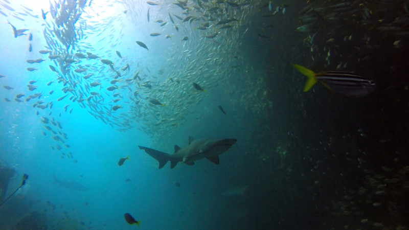 Diving with Grey Nurse Sharks at Broughton Island